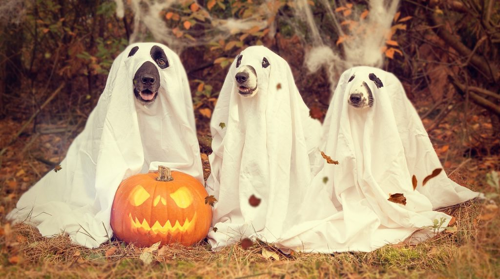 Three dogs dressed as ghosts next to a carved pumpkin. Perfect content for social media.